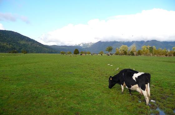 La típica vaca en un prado de Nueva Zelanda