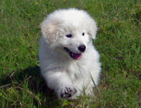 sheepdog, puppy, maremma