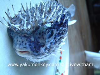 Puffer fish in Yakushima