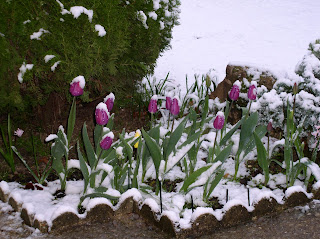 My frozen tulips