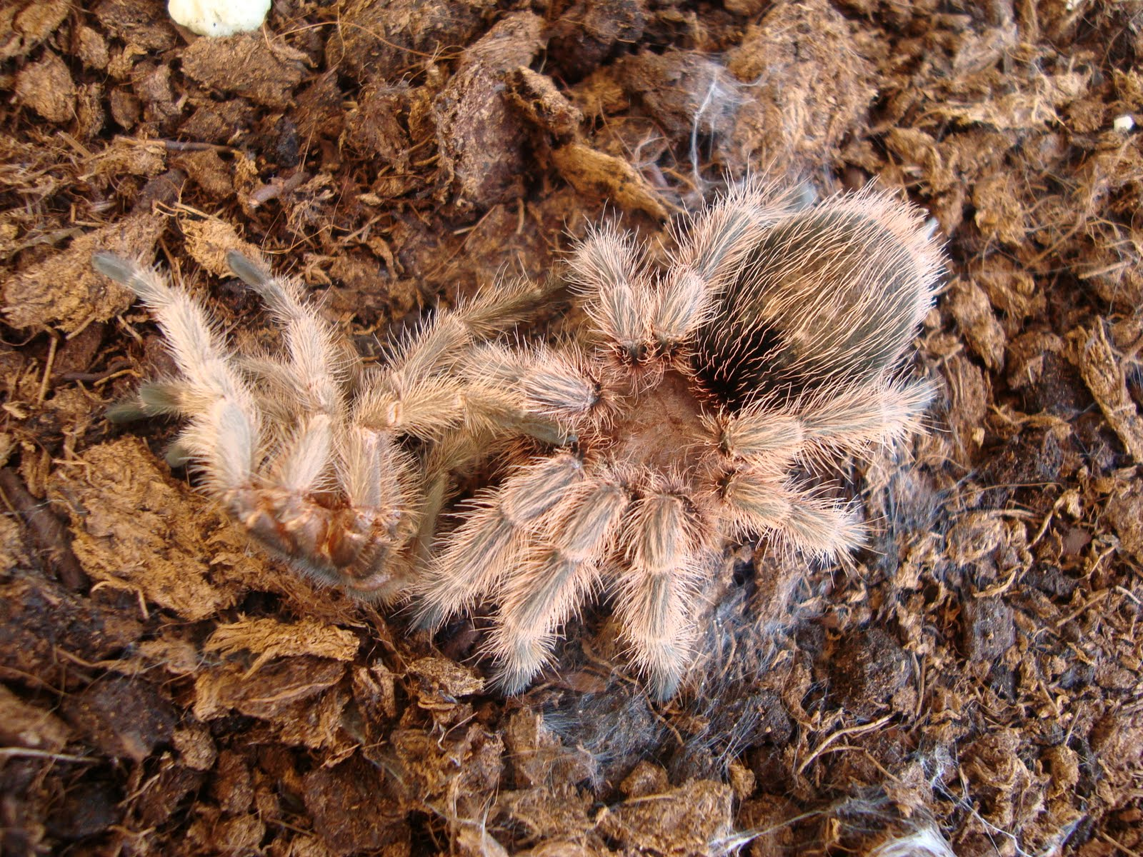 Airil Is In The House My Chilean Rose Hair Tarantula Molting
