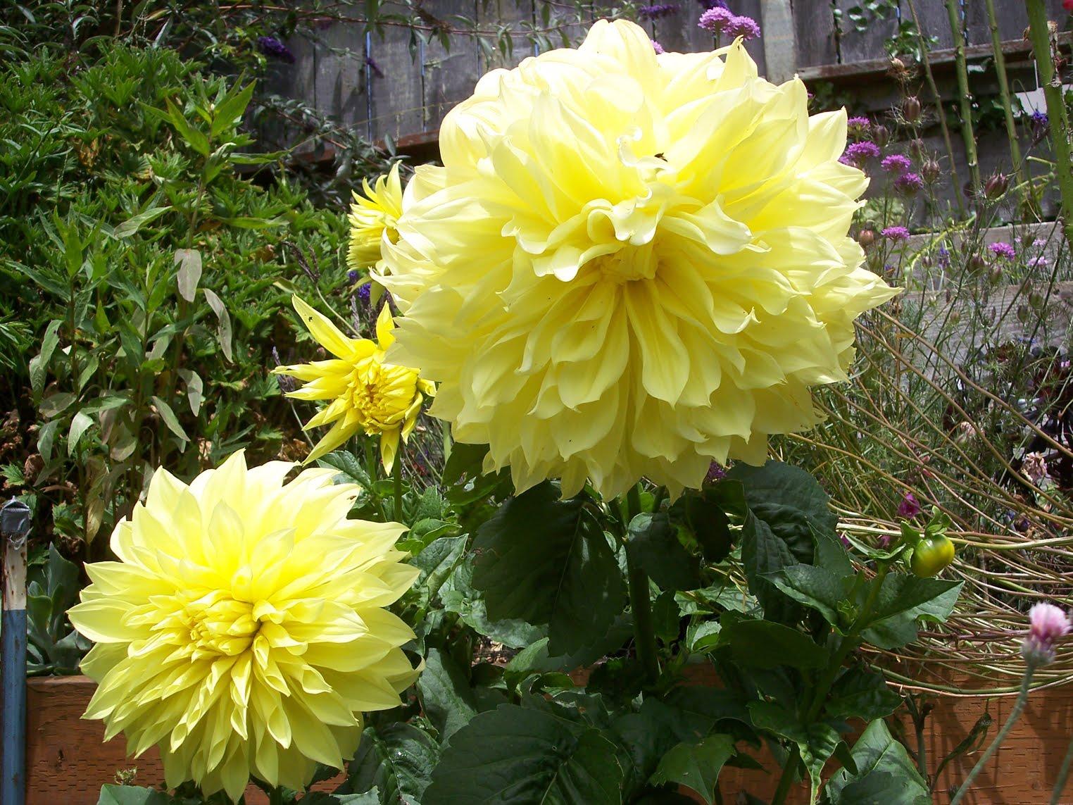 yellow dahlia flower - photo #42