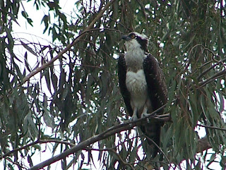 Immature Osprey at Tewinkle Park