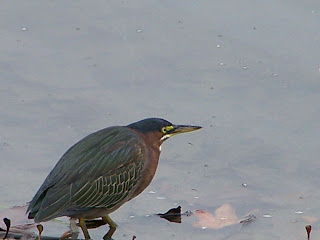 Green Heron on the shore looking for fish.