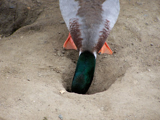 Male Mallard checking out a squirrel hole for food.