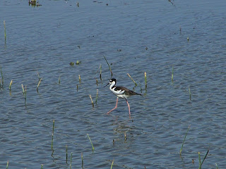 Black-necked Stilt at San Joaquin Wildlife Sanctuary
