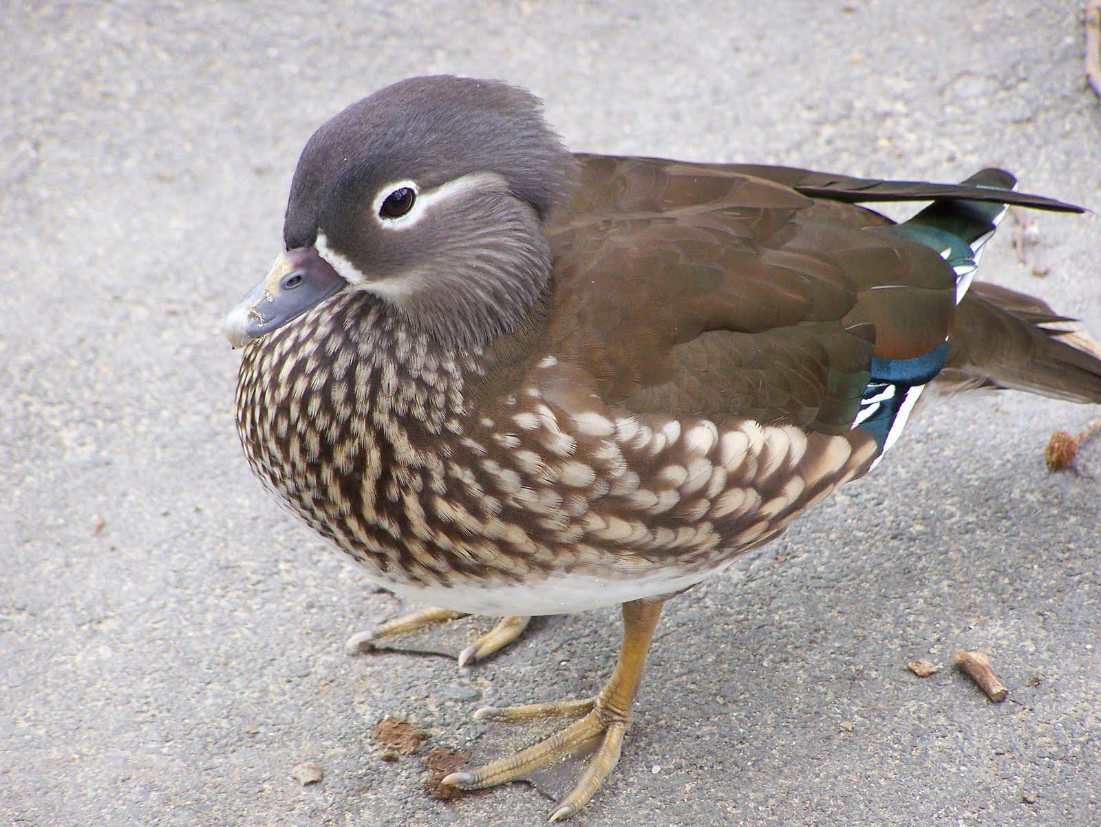 OC Birder Girl: Mandarin Duck