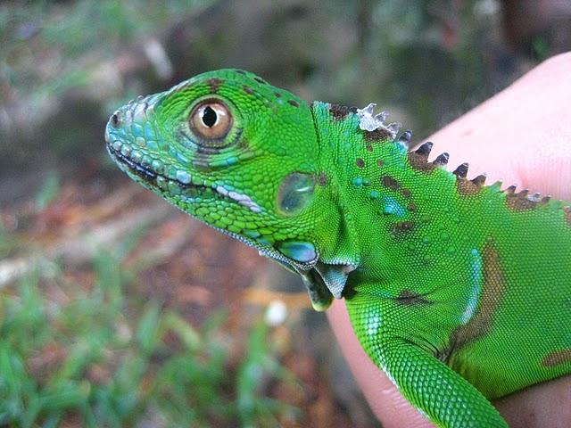 About Iguana | Iguana Guide | Iguana Tips: September 2010 - photo#13