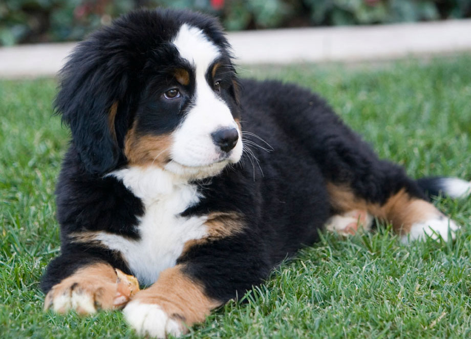 dogbreedcatalog: Bernese Mountain Dog