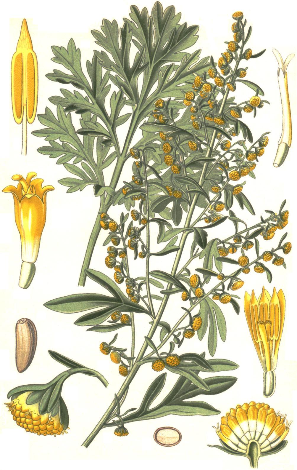 Artemisia Absinthium Wormwood: Dancing In The Shadows: Wormwood (Artemisia