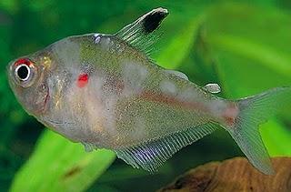 Fish Beautiful Fresh Water Ornamental Fish Diseases Pictures