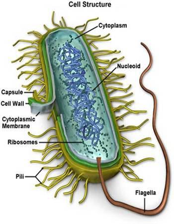 Eubacteria and Archaeobacteria | Biology