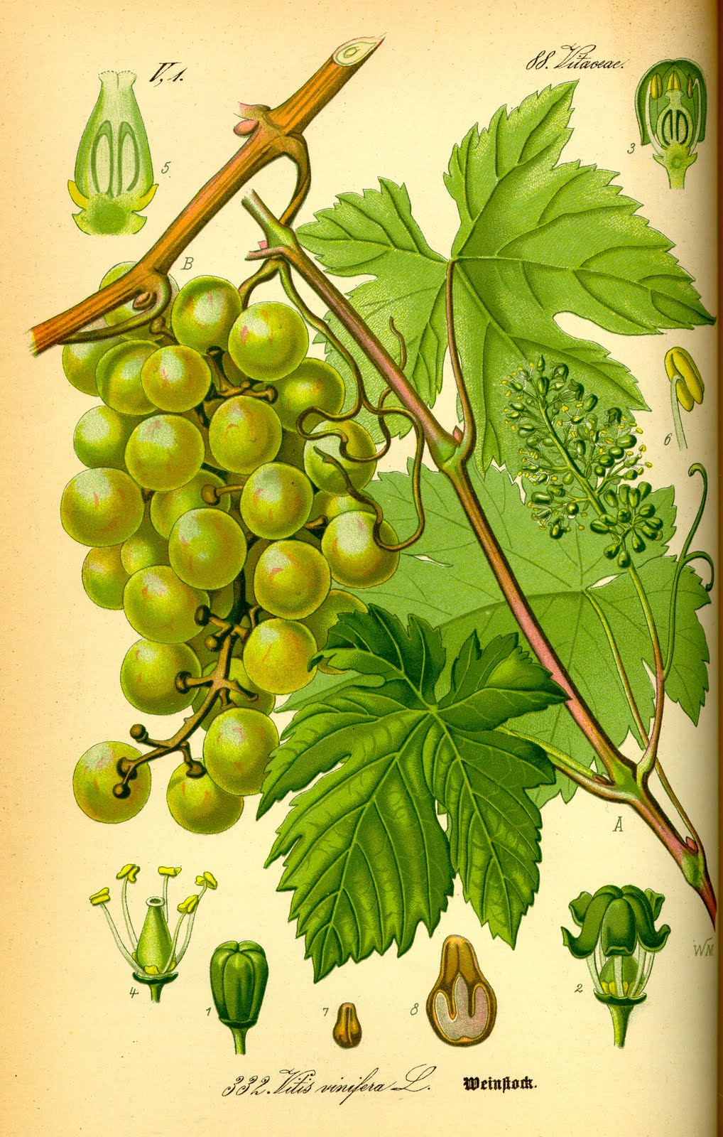 prepararea semințelor de struguri în varicoză)