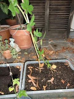 Brombeeren durch Absenker und Stecklinge vermehren
