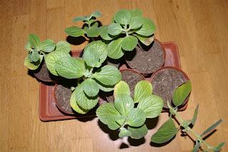 Verpiss-Dich-Pflanzen Stecklinge