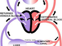 Blood Flow Diagram