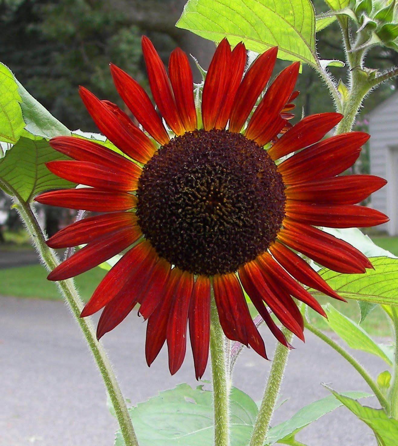 historymike: Dark Red Sunflower