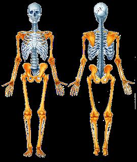 Anatomía Humana Osteologia Generalidades Esqueleto Axil Huesos