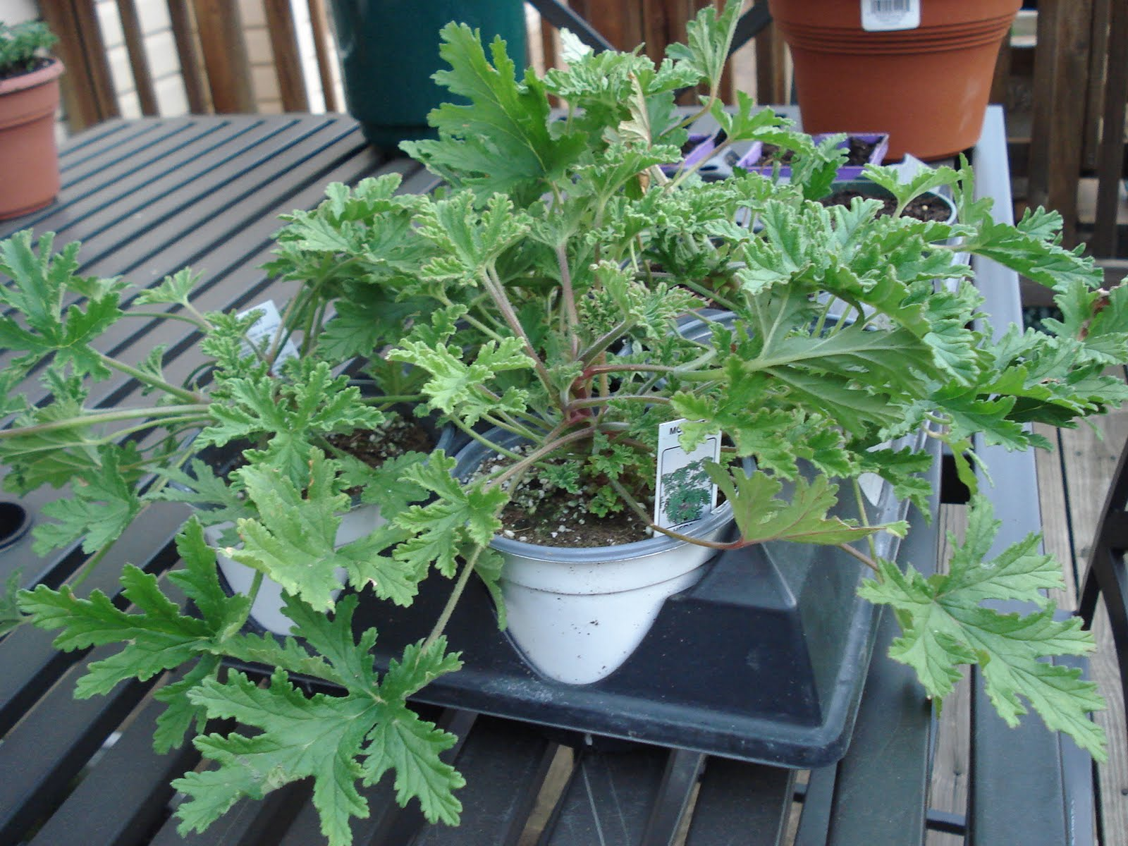 Bumble Lush Garden Citronella Plants Grow Your Own Mosquito