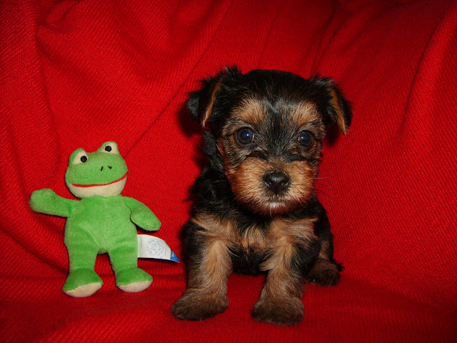 Yorkie poo adult weight Yorkies Predicting Adult Weight Yorkie