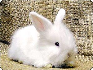 兔子の園地: 荷蘭侏儒兔-介紹