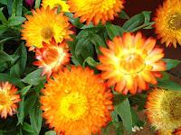 El Jardinero Urbano Las Siemprevivas Flores Para El Invierno