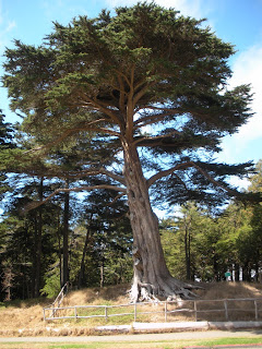 San Francisco Sunday Streets - large tree Golden Gate Park