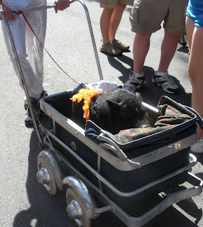 Pig in a baby carriage at Bay to Breakers in San Francisco