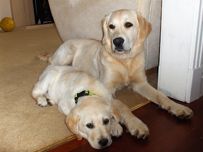 MylieGoldenRetrieverPuppy: Goldador joins the family