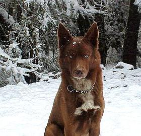 American Indian Dog Anyone Hear Of This Breed
