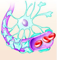 blood brain barrier showing glial cell in blue and the vasculature in pink