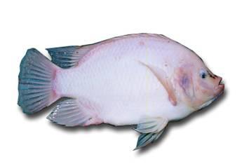 Cara Menternak Ikan Talapia Di Kolam Ternak Ikan
