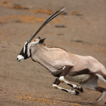 gazelle running from lion - photo #31