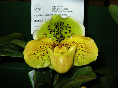 Paph. Magic Dust 'Pixie'