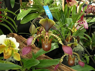 Paph. lowii 'MacLean' AM/AOS