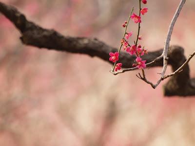 桜なんかと比べると、花が少なく、どうしても枝も含めた撮り方になるので見栄... My ComSa