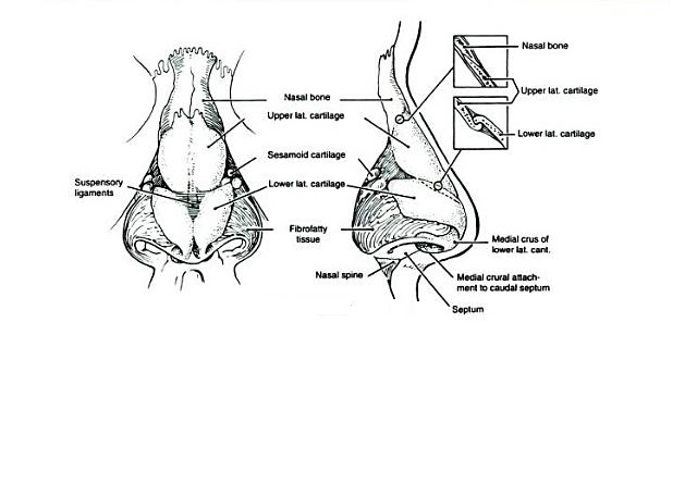 Nose Revision Surgery And Surgeons The Anatomy And Definition Of