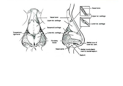 External Nose Anatomy Diagram, External, Free Engine Image