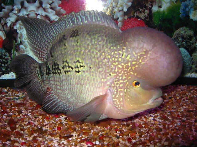 Breeding Flowerhorn How To Breed Flowerhorn Fish Successfully In