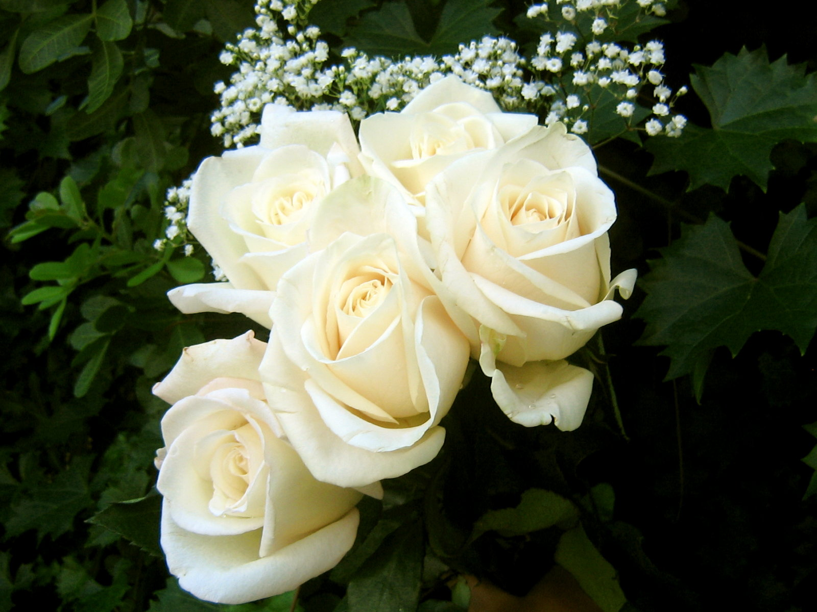 New White Rose Flowers Wallpapers - Entertainment Only  |Beautiful White Rose Flowers