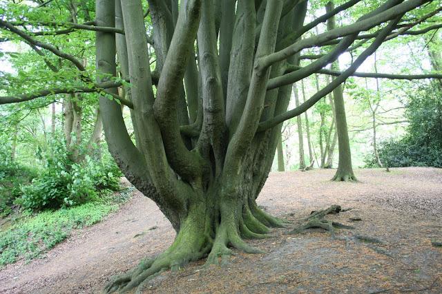 tree in Hampstead Heath