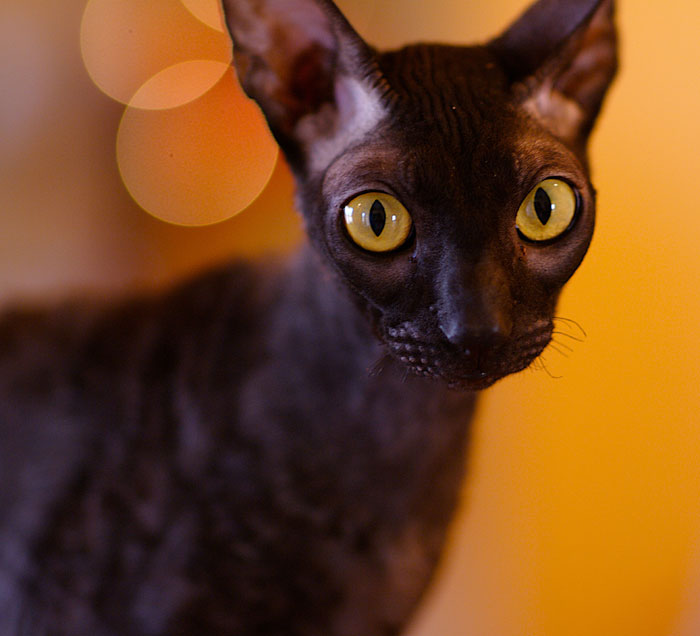 Cornish Rex cat. He looks scary, but he is so sweet!