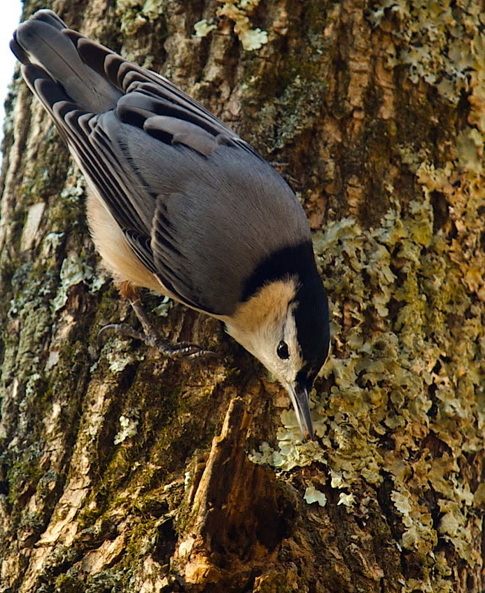 White-breasted Nuthatch walking down a tree looking under lichens for something to eat.
