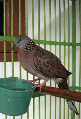 DERKUKU  kampung burung