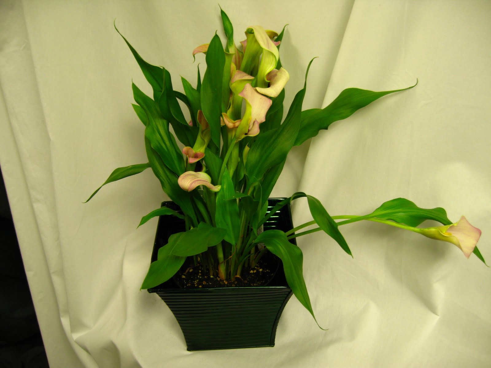 Pdi Plants Blog Why Potted Calla Lilies Are A Good Indoor Plant