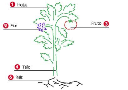 U d 5 las plantas sesi n 2 partes de la planta for Las partes de un arbol en ingles