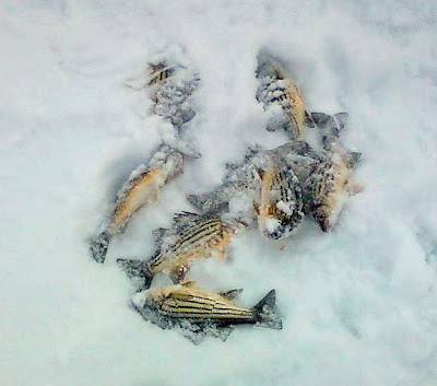 A photo of striped bass laying in the snow.