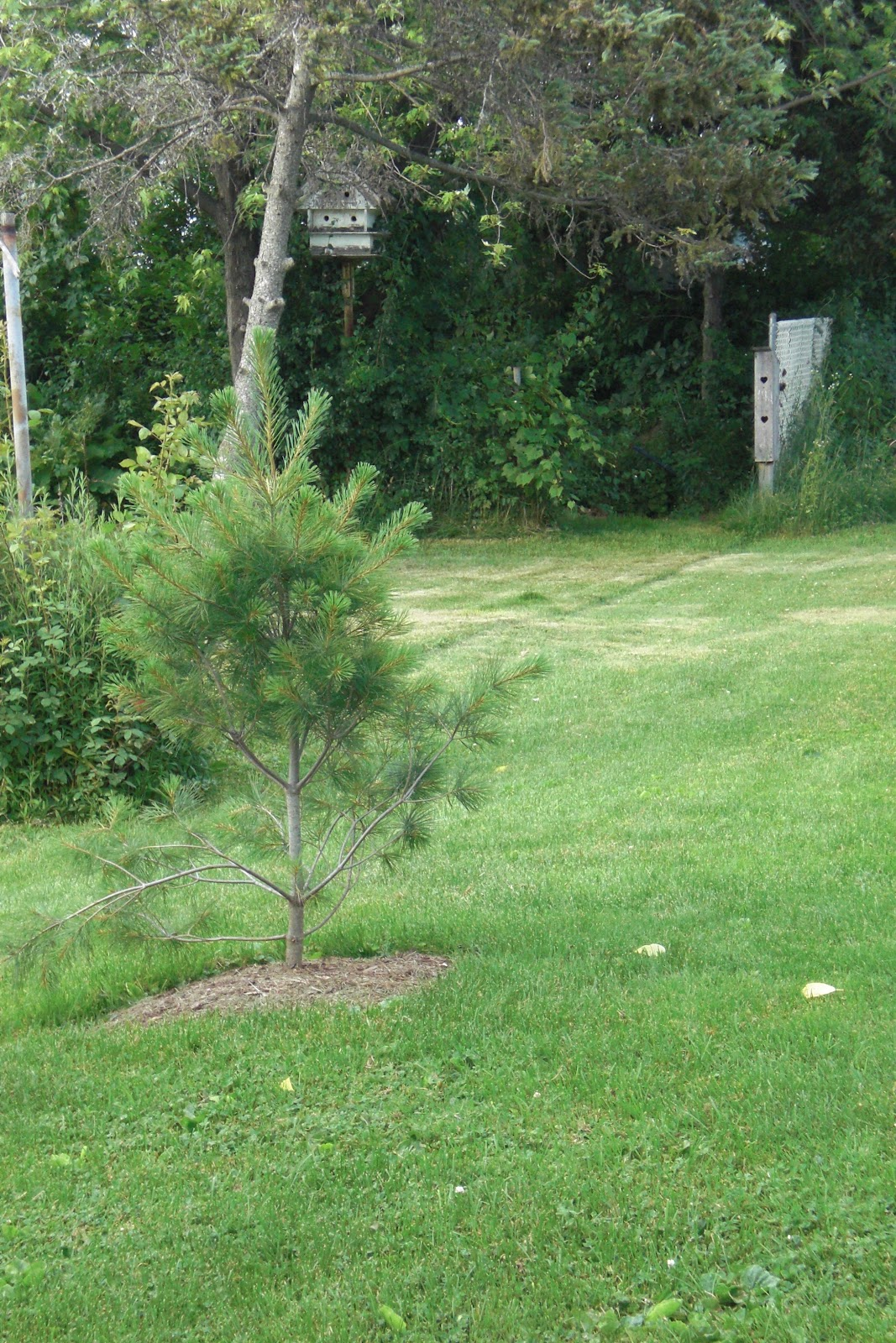 The Violet Fern: Going Native: Eastern White Pine1067 x 1600 jpeg 575kB