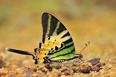 Butterflies of Singapore: Life History of the Fivebar Swordtail