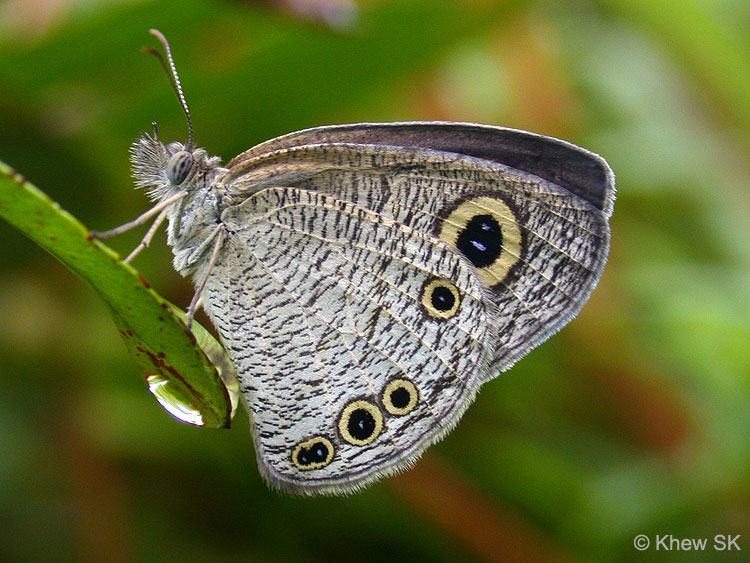 Butterflies Of Singapore  Observation Notes On The